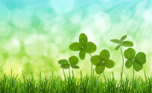 Four-leaf clovers in grass against blurred natural background.